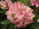 Rododendron i blomst på Risholmen